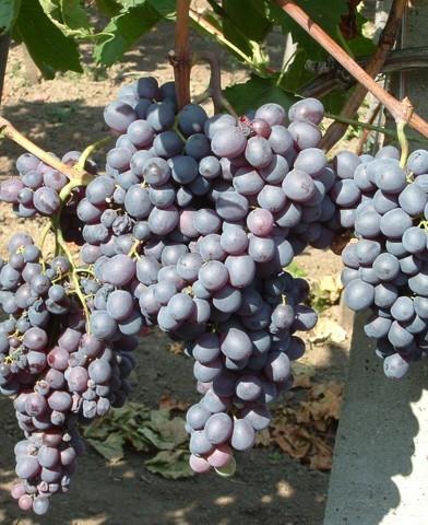 Kismis Moldavszkij magnélküli szőlő oltvány