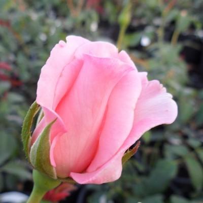 König magastörzsű rózsa