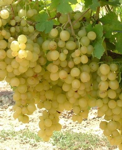 Kozma Pálné muskotály csemegeszőlő oltvány