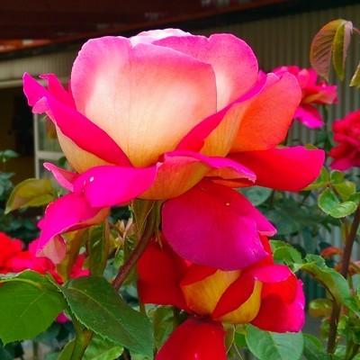 Kronenburg magastörzsű rózsa