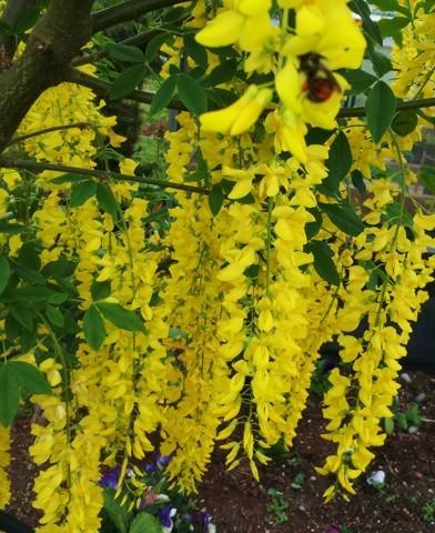 Laburnum x watereri 'Vossii' - Hosszúfürtű aranyesőfa