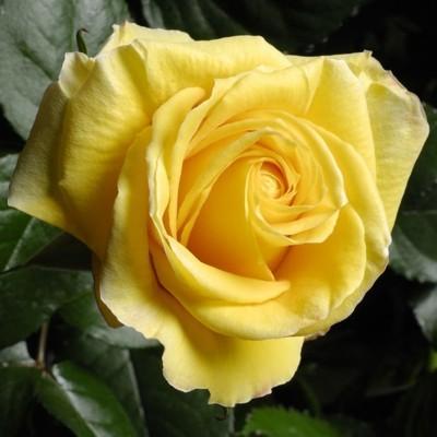 Landora magastörzsű rózsa