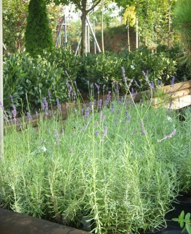 Lavandula angustifolia - Levendula