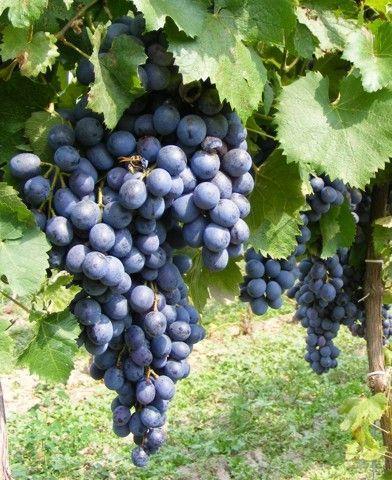Léna (Bíró kékje) csemegeszőlő oltvány