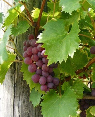 Lidi rezisztens szőlő oltvány