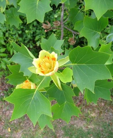Liriodendron tulipifera - Tulipánfa