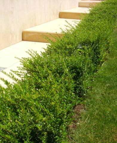 Lonicera pileata - Örökzöld lonc