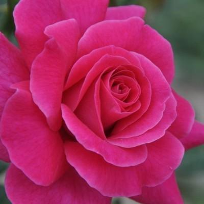 Lucia Nistler magastörzsű rózsa