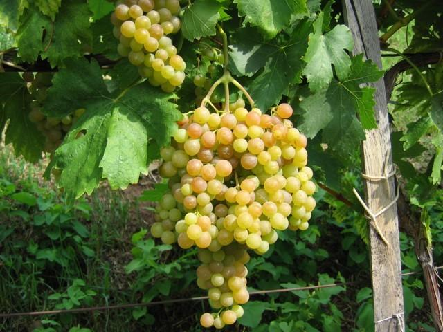 Magnélküli szőlő oltvány