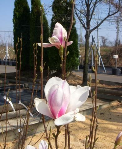 Magnolia x soulangiana - Nagyvirágú liliomfa