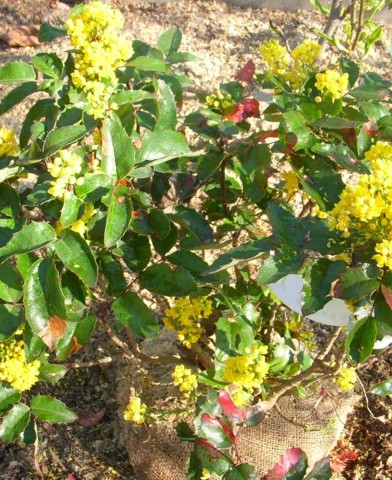 Mahonia aquifolium - Kerti mahónia