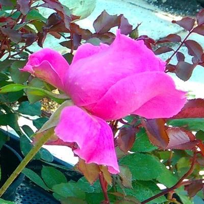 Marco magastörzsű rózsa