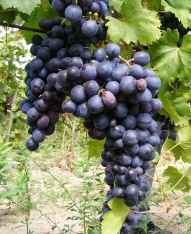 Melinda csemegeszőlő oltvány