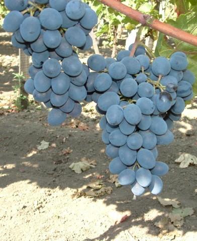 Moldova rezisztens szőlő oltvány