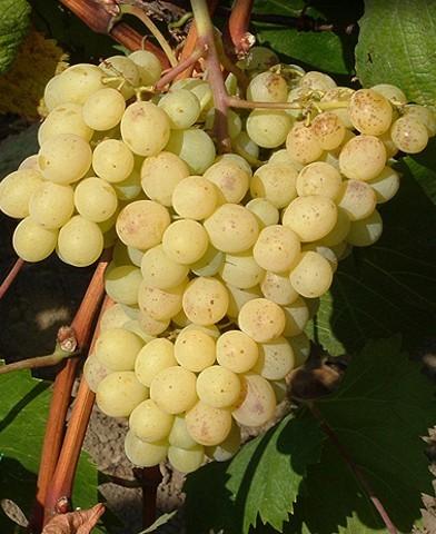 Narancsízű csemegeszőlő oltvány