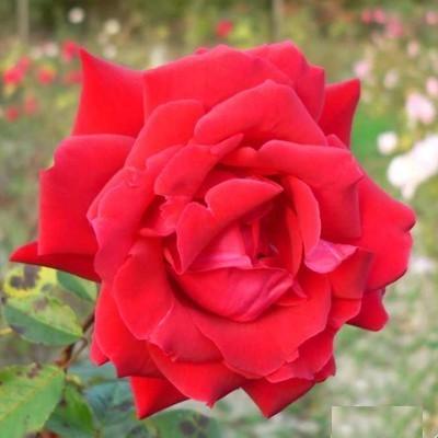 National magastörzsű rózsa