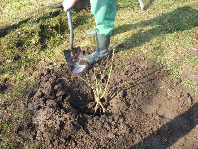 növény behelyezése a gödörbe