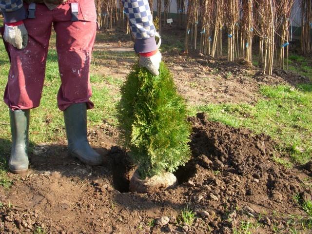 növény gödörbe helyezése
