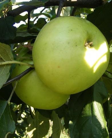 Nyári fontos almafa