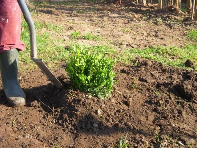 őszi ültetésnél földkupac készítése