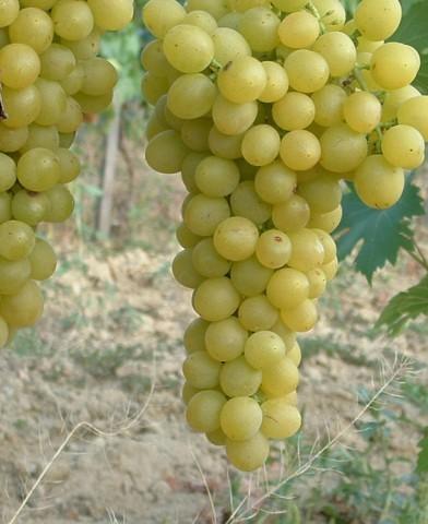 Palatina (Augusztusi muskotály) rezisztens szőlő oltvány