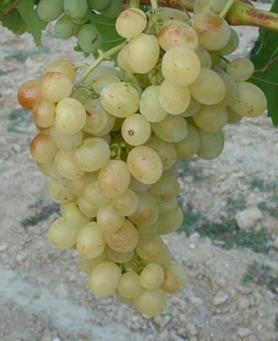 Pannónia kincse csemegeszőlő oltvány