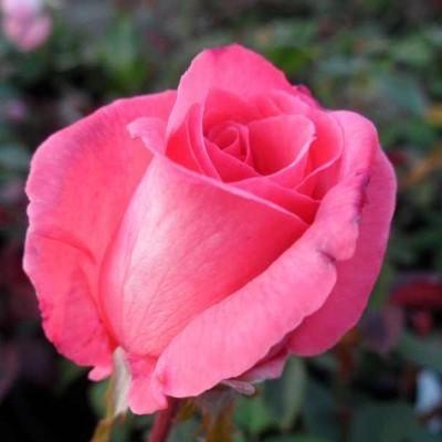 Pariser Charme magastörzsű rózsa