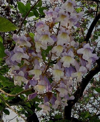 Paulownia tomentosa - Nagylevelű császárfa