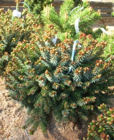 Picea omorika 'Nana' - Törpe szerb luc