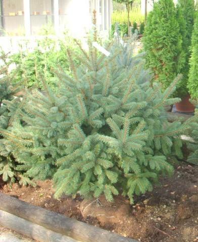 Picea pungens f. galuca - Ezüstfenyő
