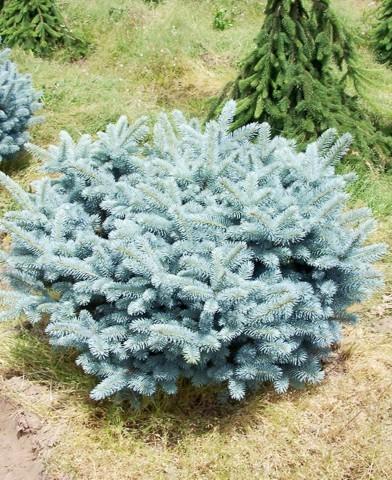 Picea pungens 'Glauca Globosa' - Gömb ezüst törpefenyő