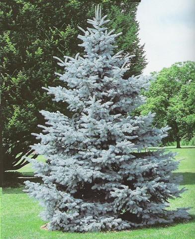 Picea pungens 'Hoopsi' - Ezüstfenyő 'Hoopsii