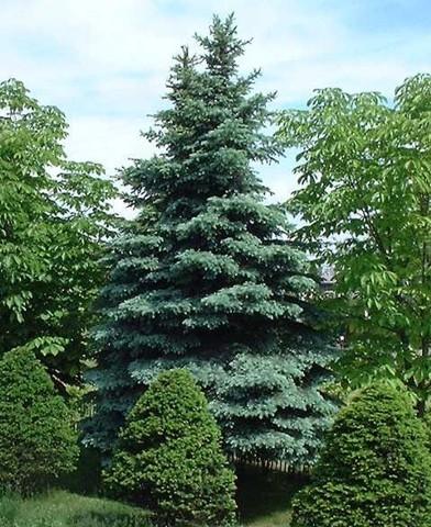 Picea pungens 'Koster' - Ezüstfenyő 'Koster'