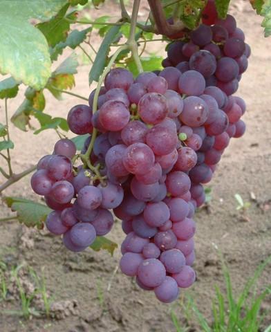Piros saszla (Chasselas rouge) csemegeszőlő oltvány