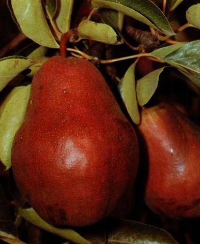 Piros Vilmos körtefa