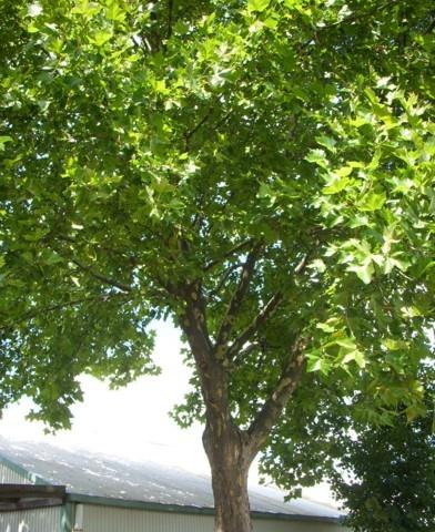 Platanus acerifolia - Juharlevelű platán