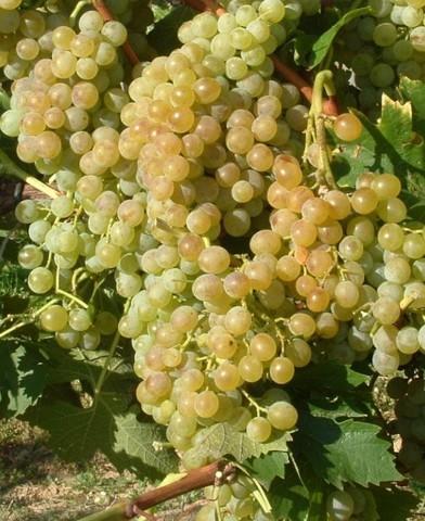 Pölöskei muskotály rezisztens szőlő oltvány