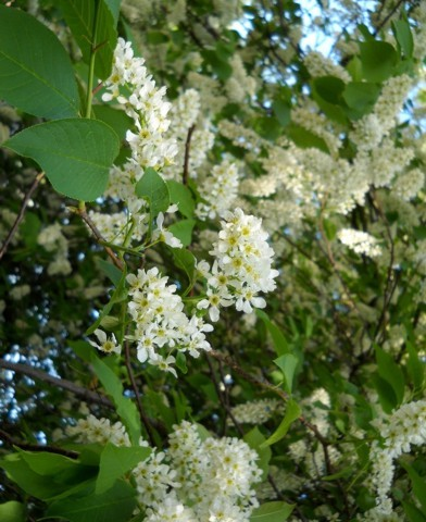 Prunus padus - Májusfa