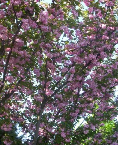 Prunus serrulata 'Kanzan' - Japán díszcseresznye
