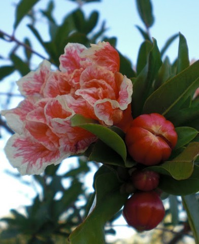 Punica Granatum 'Legrelliae' - Cirmos virágú gránátalmafa