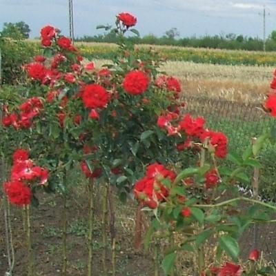 Red Carpet magastörzsű rózsa