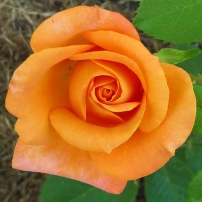Remy Martin magastörzsű rózsa