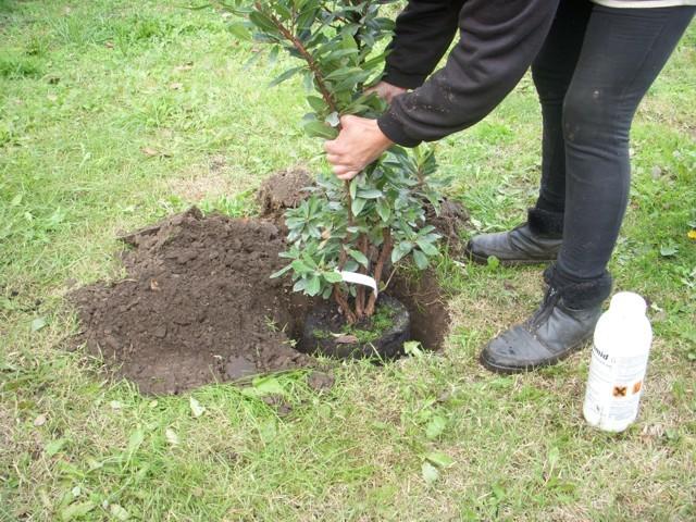 rétegezés, növény gödörbe helyezése