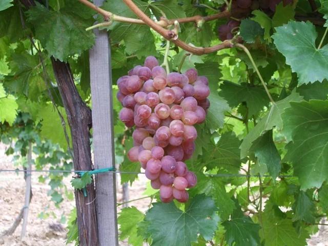 Rezisztens szőlő oltvány