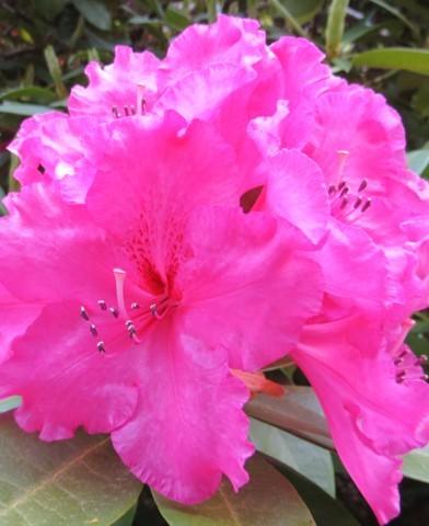 Rhododendron - Havasszépe