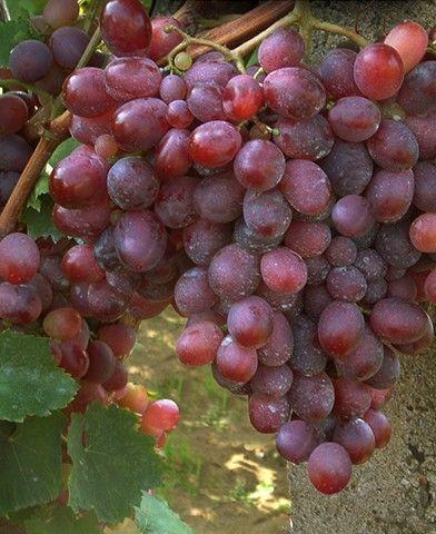 Rizomat csemegeszőlő oltvány