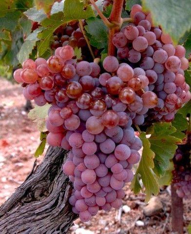 Ruby King magnélküli szőlő oltvány