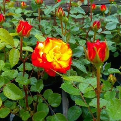 Rumba magastörzsű rózsa