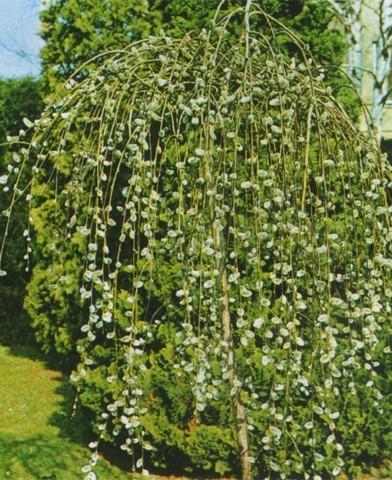 Salix caprea 'Pendula' - Szomorú barkafűz