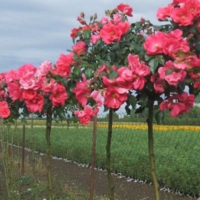 San Remo magastörzsű rózsa